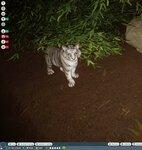 PZ White Tiger Cub.jpg
