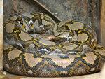 reticulated-python-shutterstock_322512518.jpg