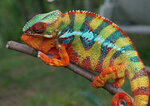 Panther-Chameleon-Pictures1.jpg