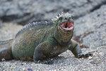 marine_iguana11.jpg