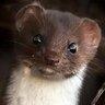 Grey Weasel