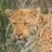 Leopard Lobbyist